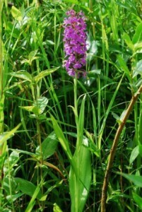 Purple-fringed Orchids Photo: Mike Bryan