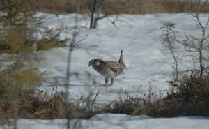 Sharp-tailed Grouse Photo: Nick Escott