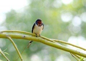Barn Swallow Photo: David Bradley