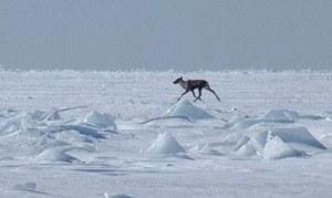 Caribou running on Lake Superior ice from Slate Islands toward Jackfish Bay.