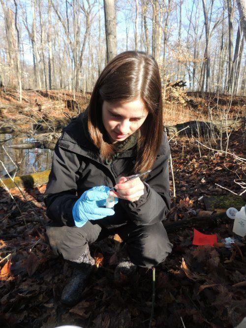 Taking samples from salamanders