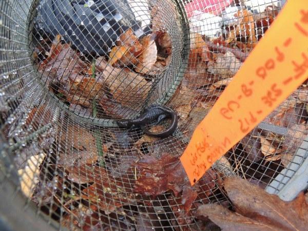 Salamander in trap